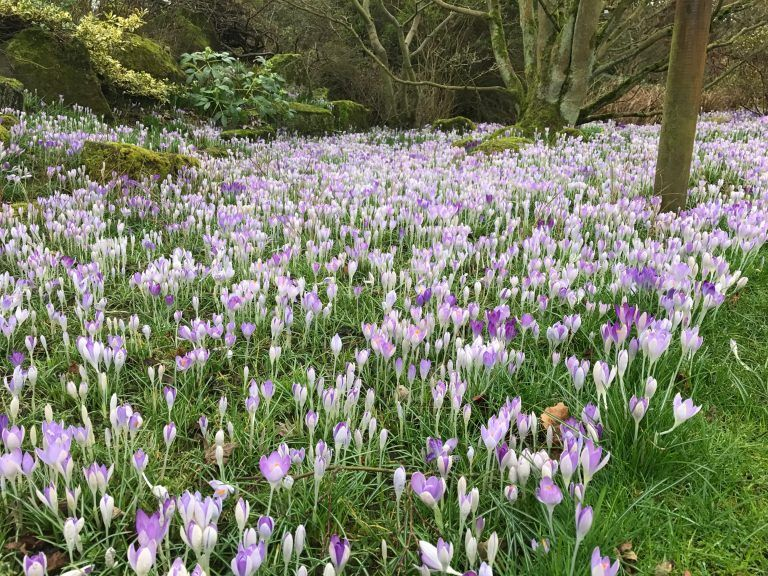 Crocus Sunday